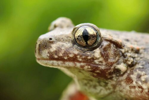 Ebe Kurbağalarını fiziksel özellikleri, siğiller, yeşil