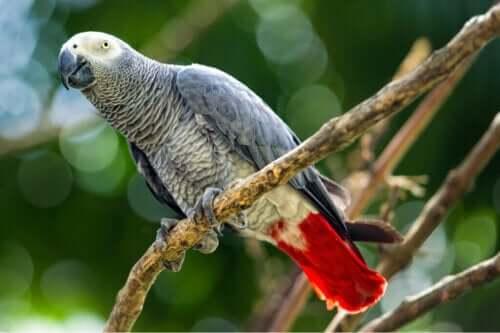 Gri Papağanlar: Tehlike Altında Bir Tür