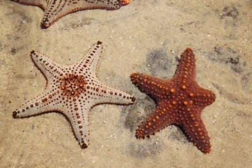 Deniz Yıldızı Rejenerasyonu: Yaşamın Sırrı Mı?