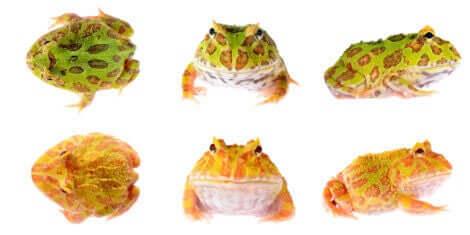 farklı renklerde kurbağa türleri ve Pacman kurbağası