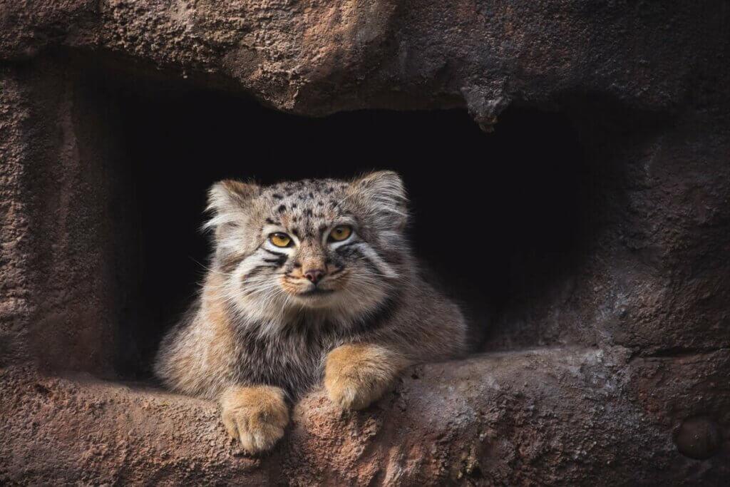 Pallas Kedisi: Yalnız Bir Himalayalı