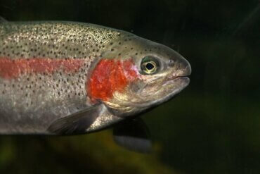 Gökkuşağı Alabalığı: Çok Renkli Bir Salmonidae