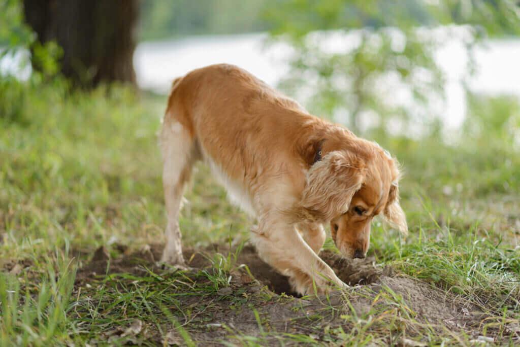 Köpekler Neden Yiyeceklerini Gömüyor?