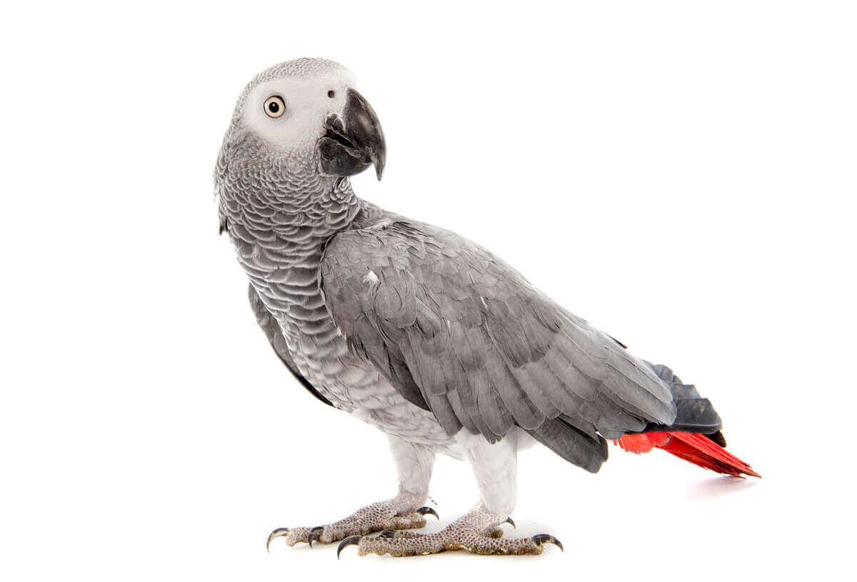 Gri papağanlar