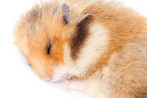 Hamsterlar Kış Uykusuna Yatarlar Mı?