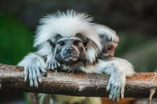 İki beyaz başlı marmoset dala tutunuyor.