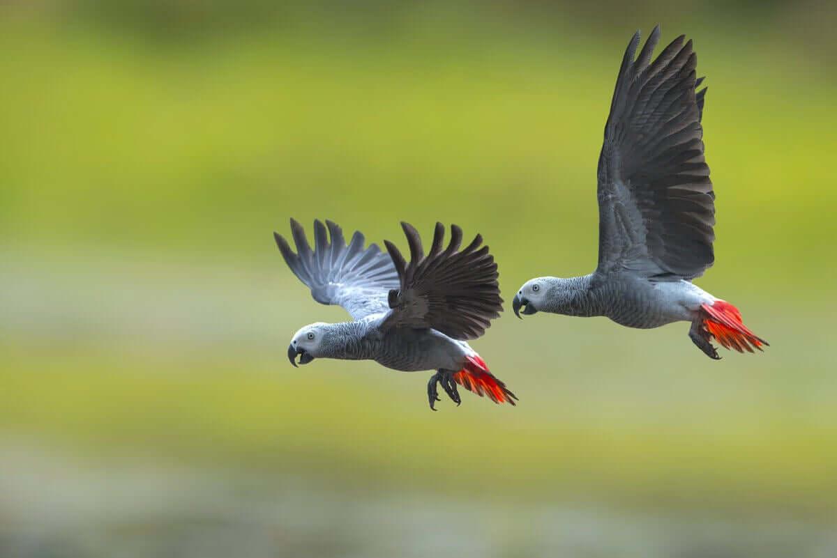 Uçan iki gri papağan