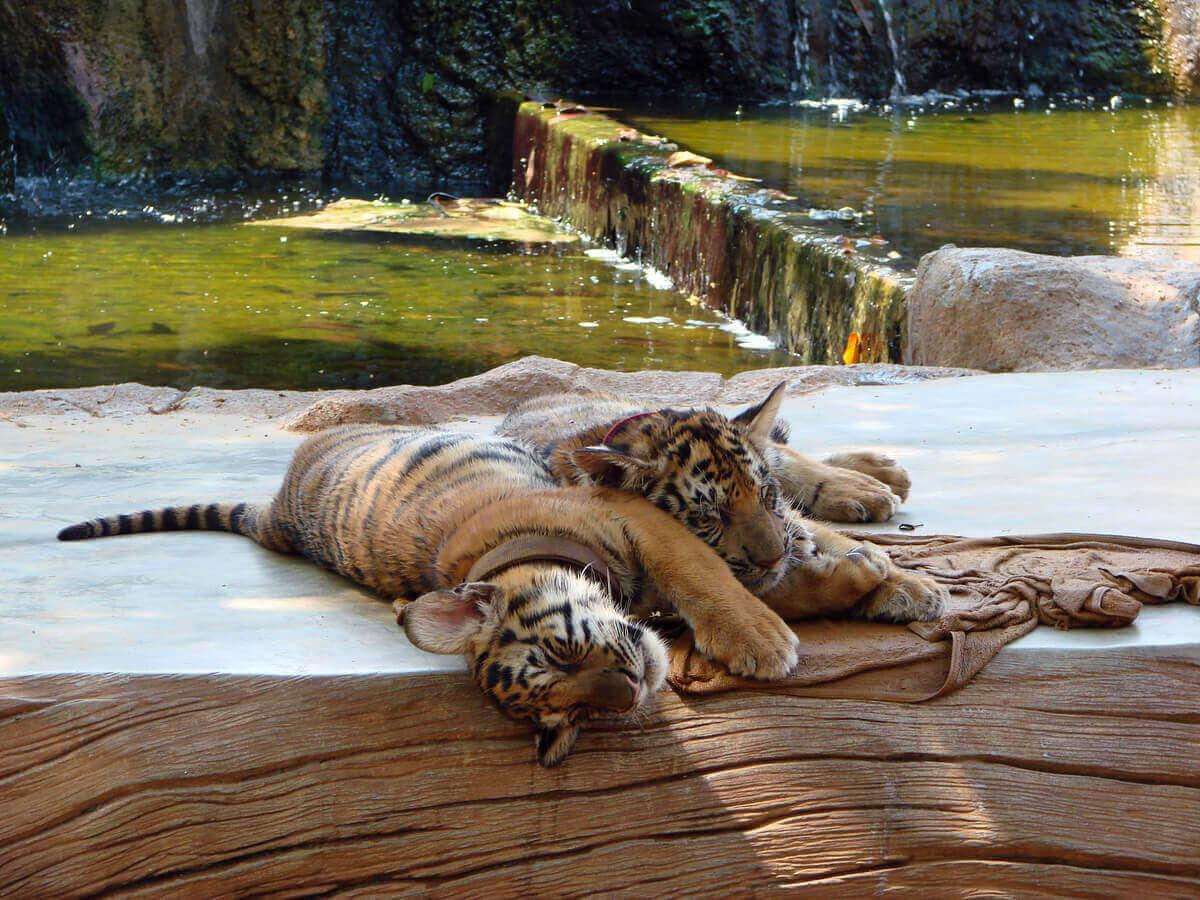 hayvanat bahçesinde uyuyan iki kaplan türü
