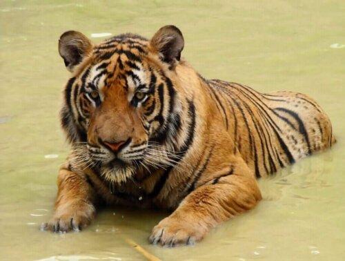 Güney Çin Kaplanı Yok Olma Tehlikesiyle Karşı Karşıya