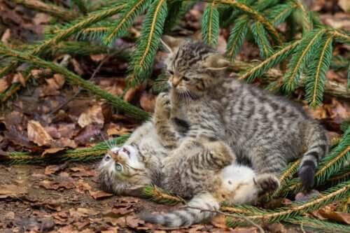 İki İskoç yaban kedisi birbirleriyle oynuyor.