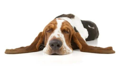 Köpeklerde Narkolepsi – Tanımı ve Özellikleri