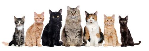 Kaç Tane Evcil Kedi Türü Vardır?