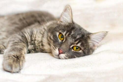 Kedilerde Lösemi Hastalığının Semptomları