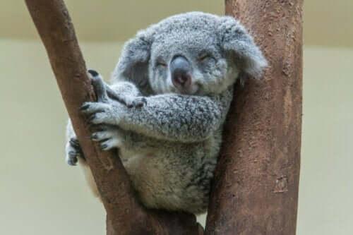 Hayvanlar aleminin en uykucu canlısı
