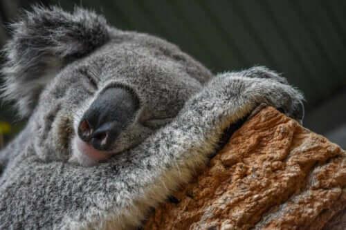 Koala - Çevreye Uyum Sağlama Ustası