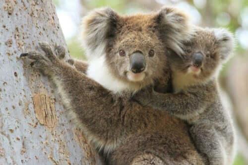 Ağaçta yaşayan koala