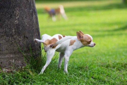 Erkek Köpekleri Etkileyen Üreme Hastalıkları