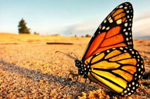İnsanı Hayrete Düşüren Kral Kelebeği Göçü