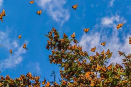 Ağaçtaki kral kelebekleri.