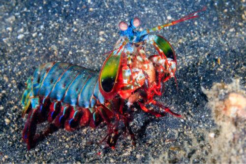 Çok Güçlü Mantis Karidesi: Keşfedin!