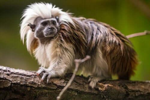 Dal üzerinde bir marmoset.