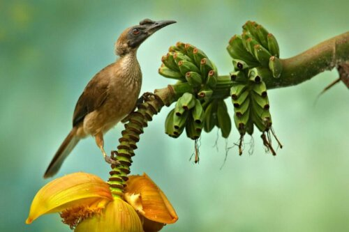 Bir miğferli guguk kuşu.