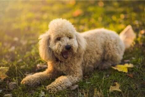 Açık kahverengi tüylü minyatür (cüce) bir kaniş köpek türü