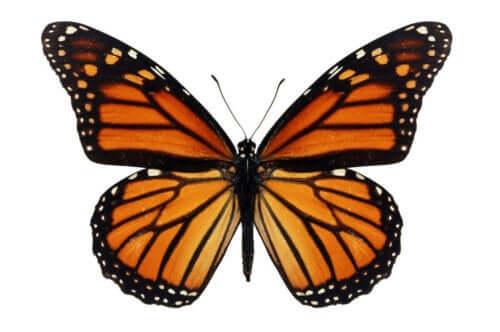 Bir kral kelebeği.