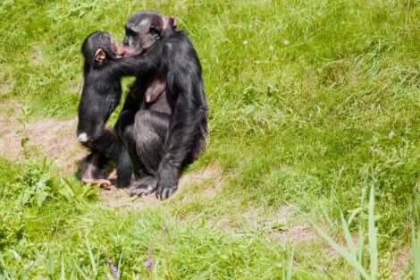 öpüşen maymunlar