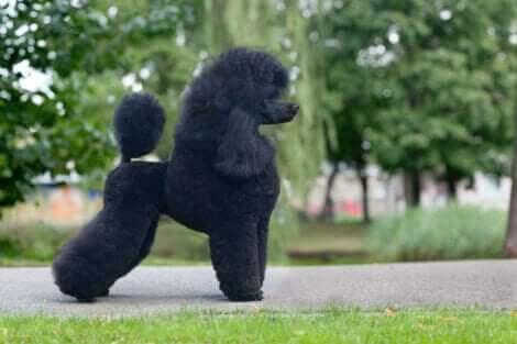 Orta boy siyah, aslan kesim stil kaniş köpek türü