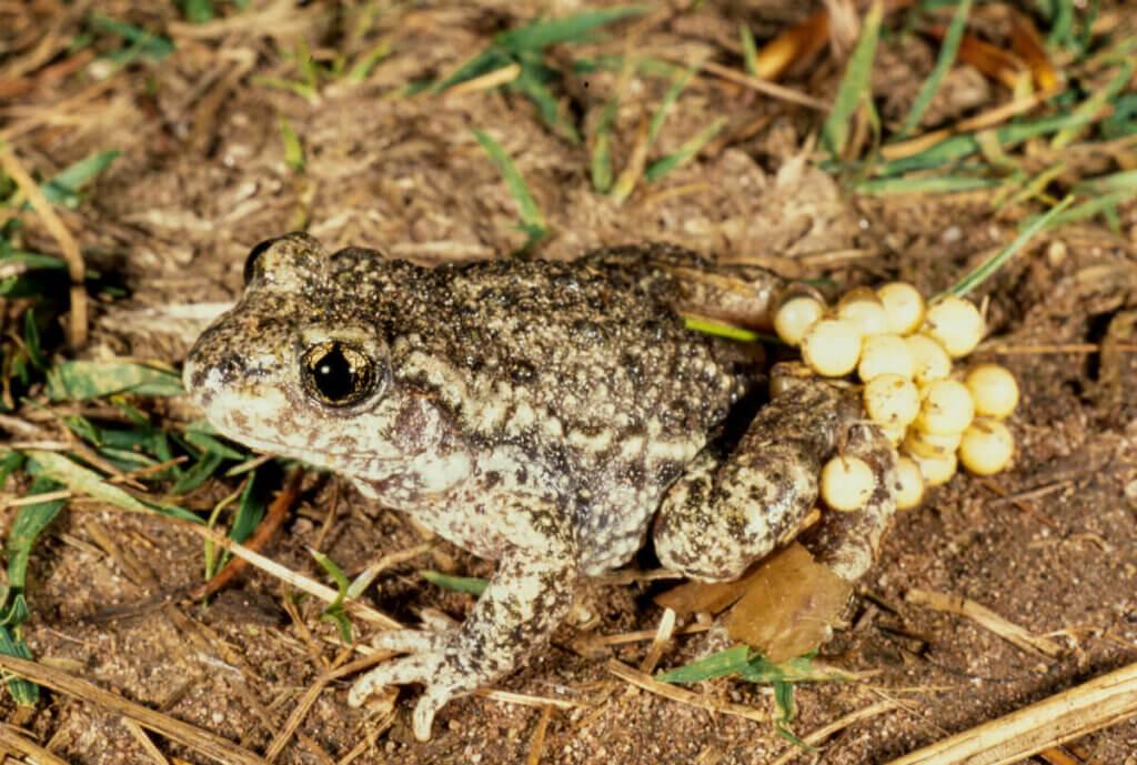 Ebe Kurbağaları