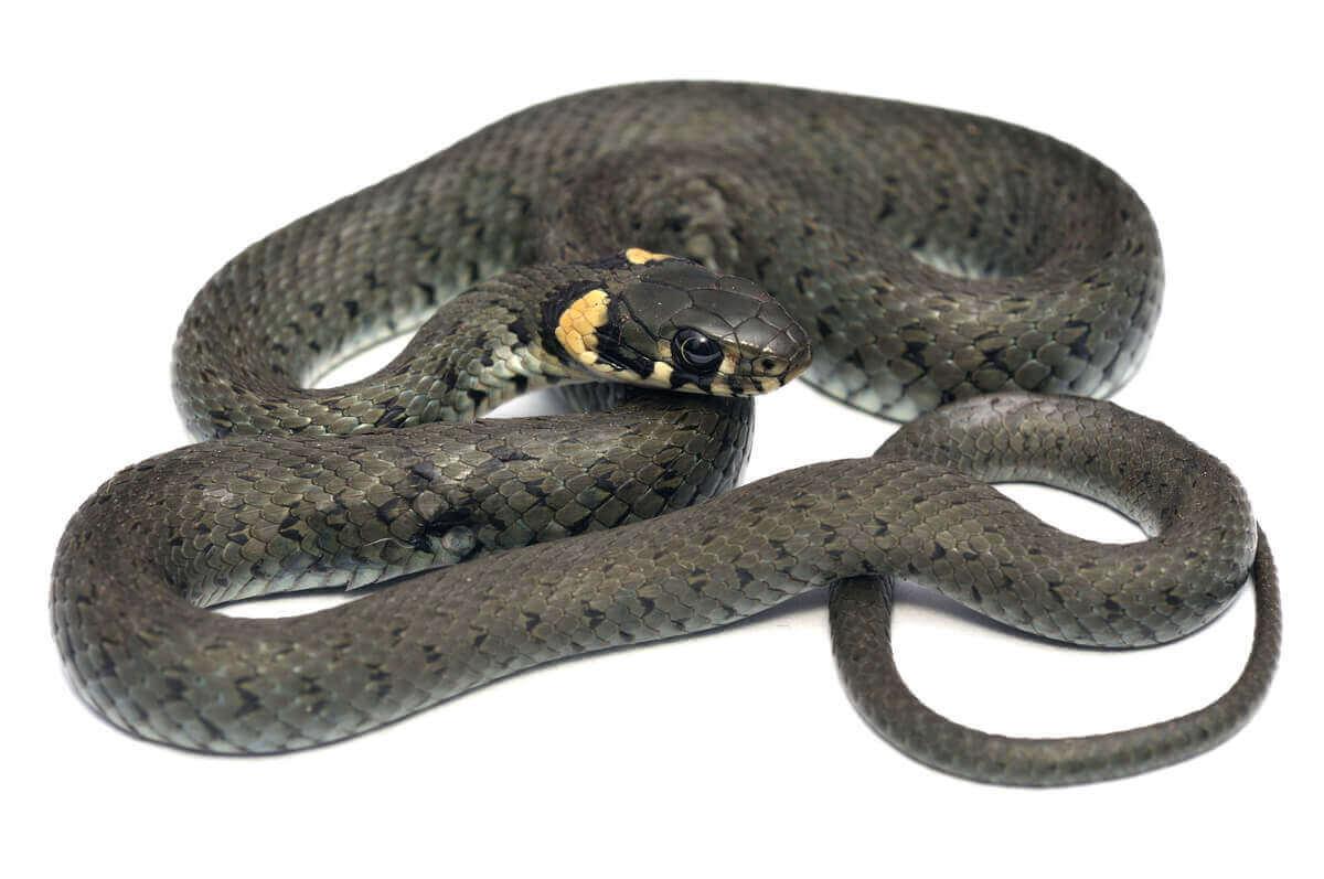 Uzun çayır yılanı