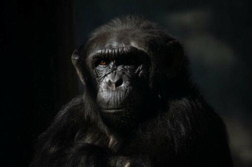 Yakından çekilmiş bir şempanze.