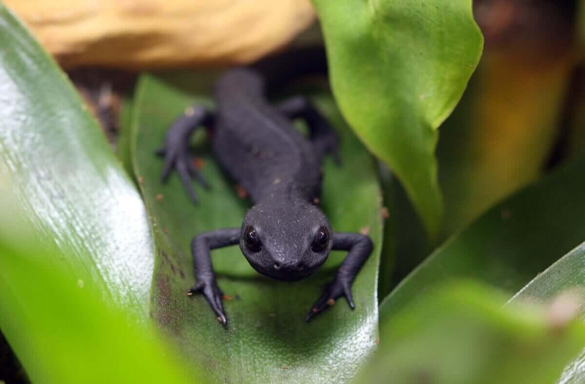dalların arasında yürüyen siyah kertenkele