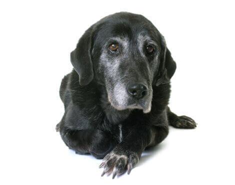 beyaz fon içinde siyah köpek ve köpeklerde yaşlılık bunaması