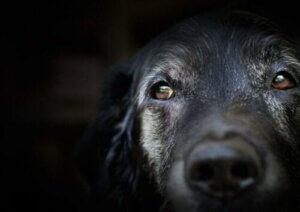 Köpeklerde Yaşlılık Bunaması: Bilim Ne Diyor?