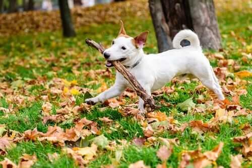 çimlerde sopayla oynayan köpek