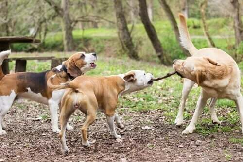 Veterinerler, Köpeklerin Sopalarla Oynamasına İzin Vermenin Tehlikeleri Konusunda Uyardı