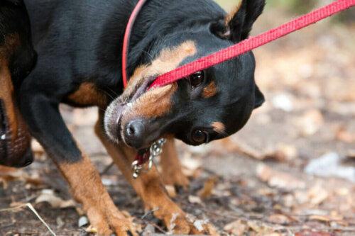 Köpeğiniz Tasmasını Isırıyorsa Ne Yapmalısınız?