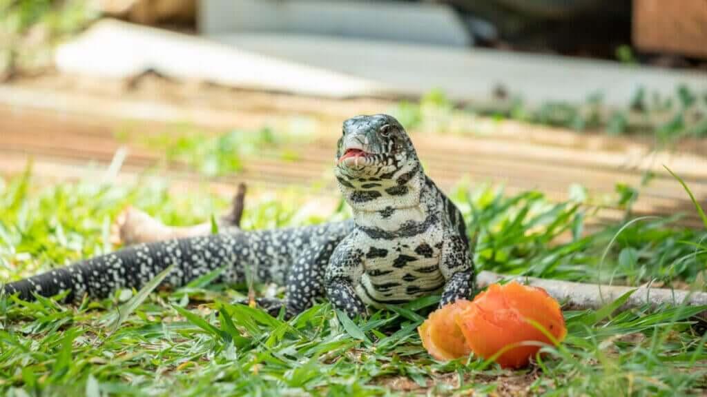 Tegu Kertenkelesi, Bakımı ve Özellikleri