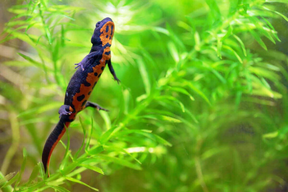 turuncu karınlı kertenkele dalların arasında yürüyor ve ateş göbekli kertenkele