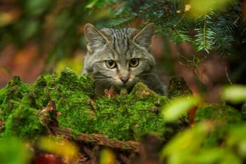 İskoç yaban kedisi uzaktan seyrediyor.