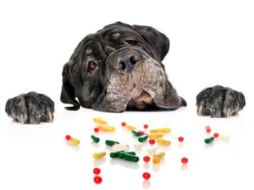 Köpeklerde Antihistamin Kullanımı Ne Kadar Güvenli?
