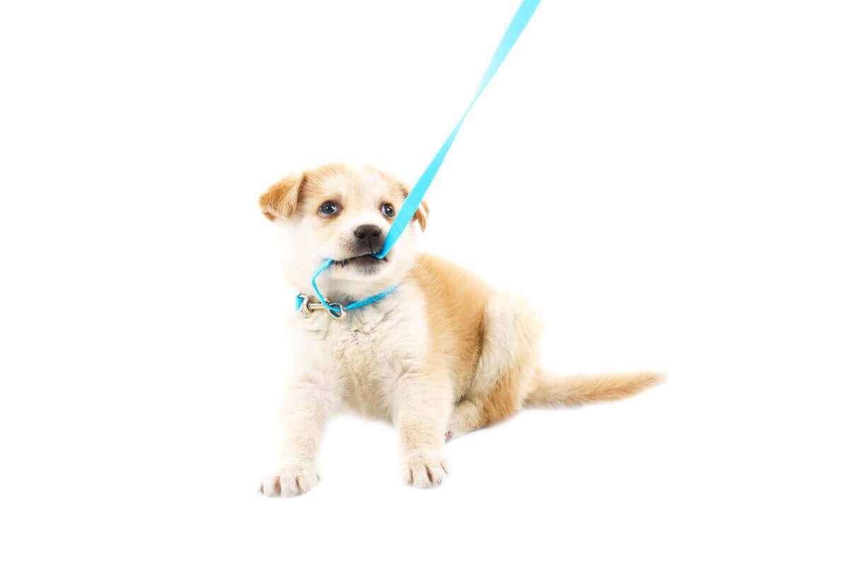 tasmasını ısıran yavru köpek