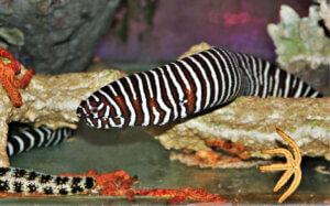 zebra desenli mürenler