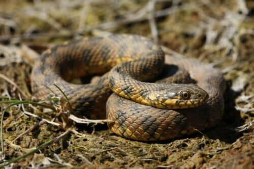 zehirli olmayan bir yılan