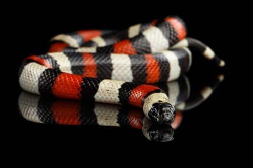 zehirli olmayan kırmızı sarı siyah yılan