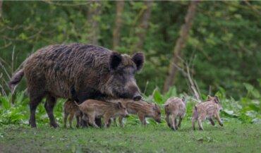 Aujeszky Hastalığı Yaban Domuzlarında Mı Yoksa Sadece Domuzlarda Mı Önemlidir?