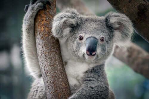 ağaçta duran bir koala