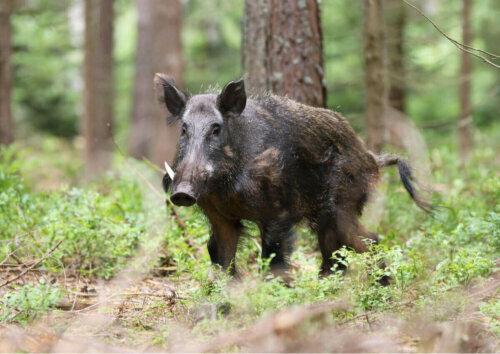 Yetişkin bir Avrupa yaban domuzu.